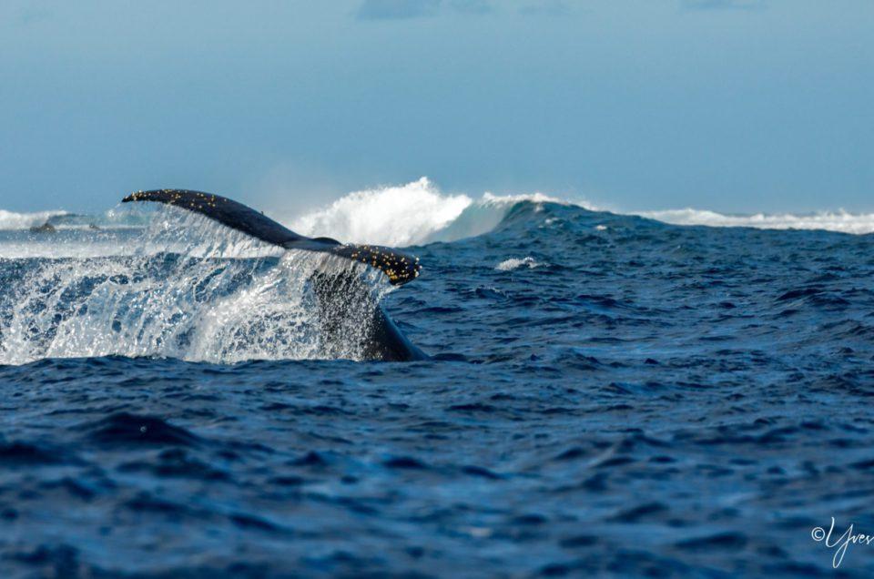 Le Show des baleines à bosse
