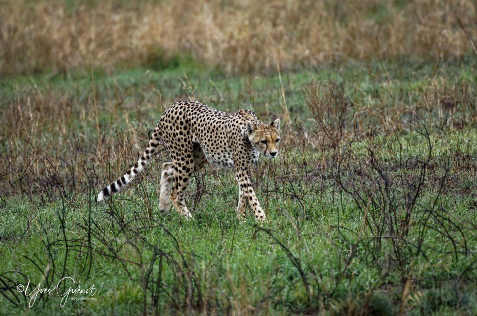 Guépards, Léopards, Chacals et Hyènes