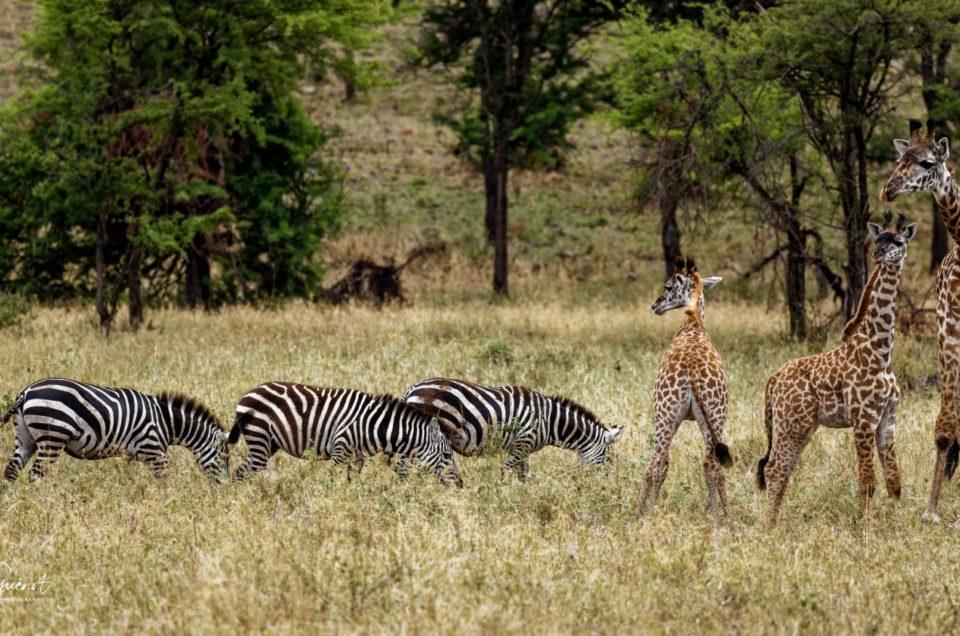 Gazelles et Girafes de Tanzanie 2018