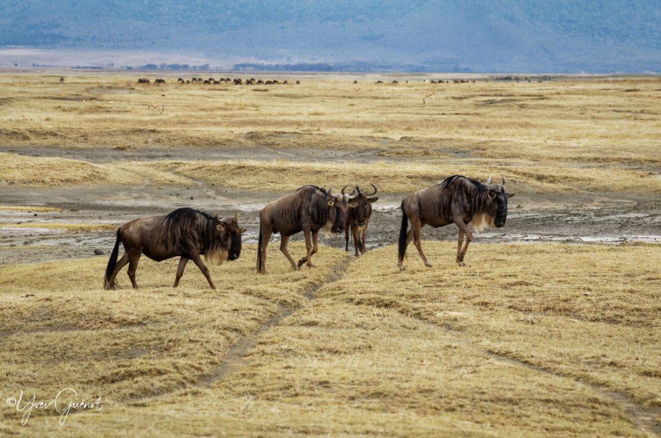 Gnous, Buffles, Zèbres…la grande transhumance en Tanzanie
