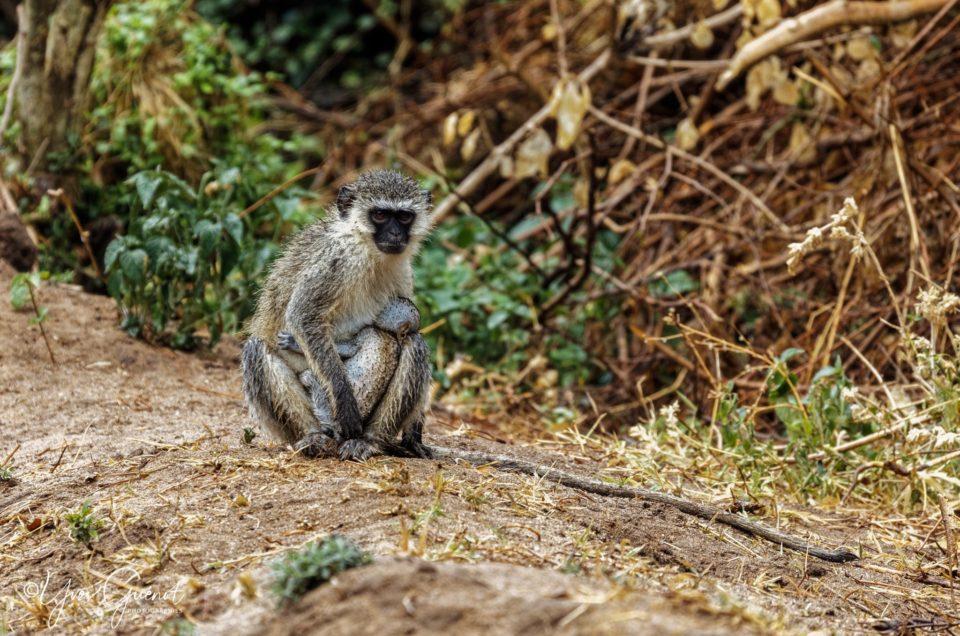 Singes de Tanzanie