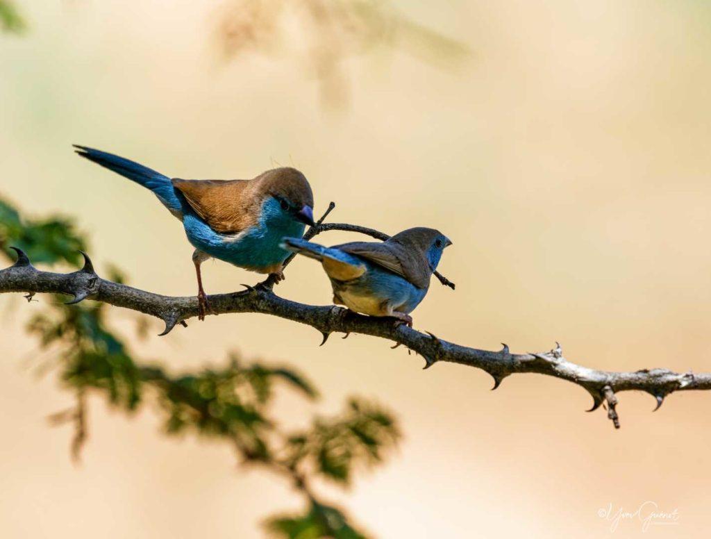 Les oiseaux rencontrés en Af du Sud