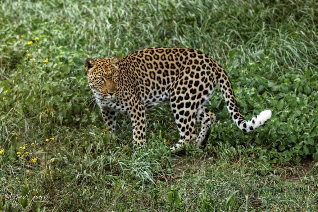 Félins du Kruger et autour …2019/20