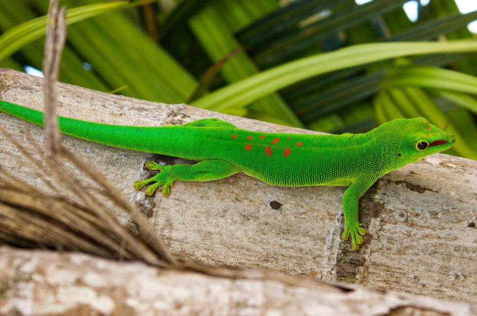 Junior le Gecko géant du jardin